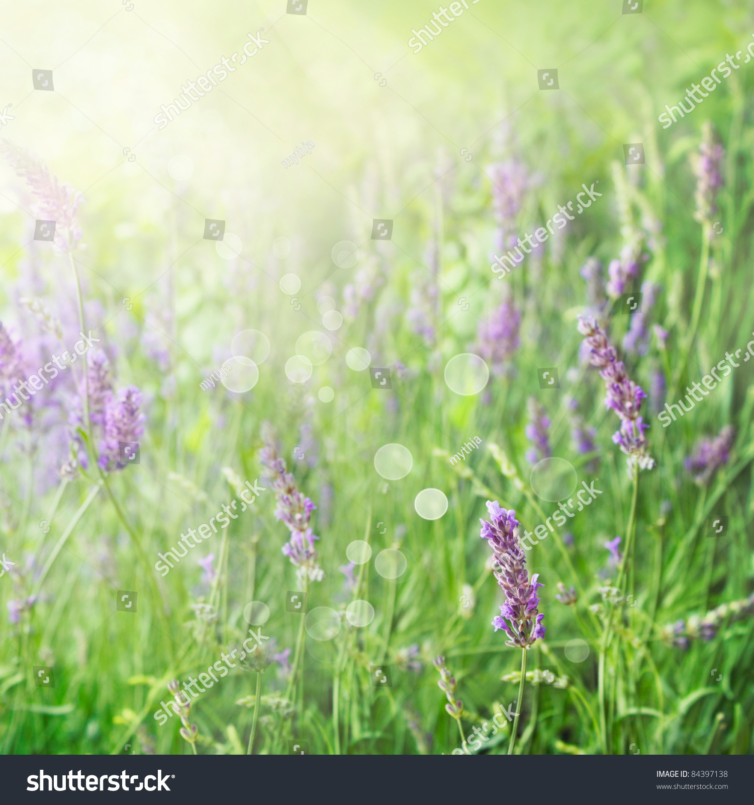 Lavender Field Floral Summer Or Spring Background Field With