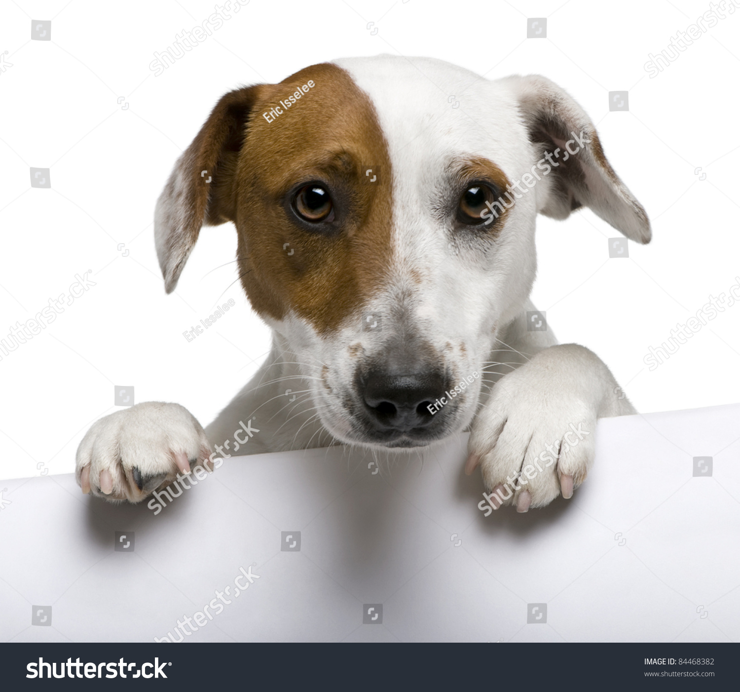 Closeup Jack Russell Terrier 1 Year Stock Photo 84468382
