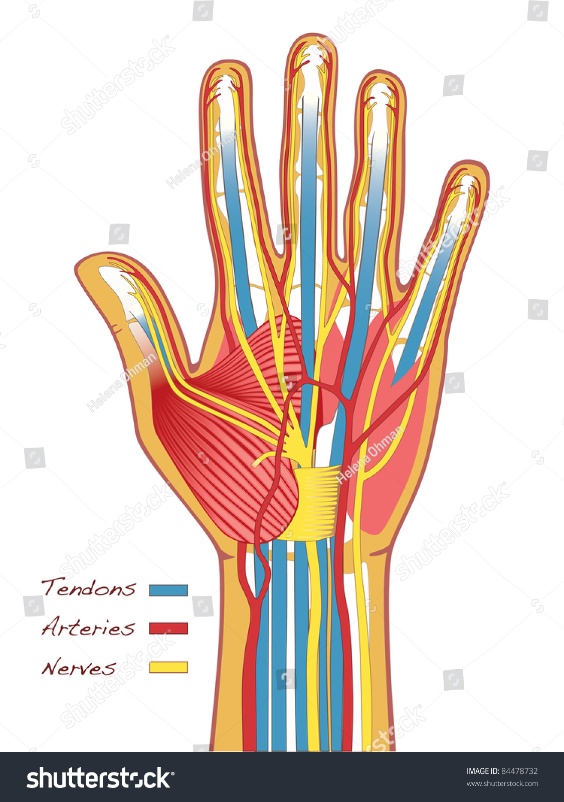 Medical Illustration Hands Anatomy Bones Tendons Stock Vektorgrafik
