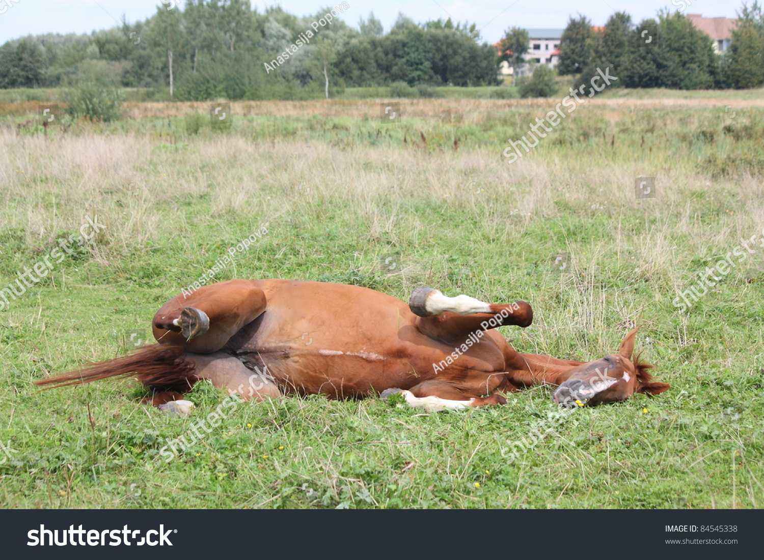 Brown horse rolling on the ground stock photo