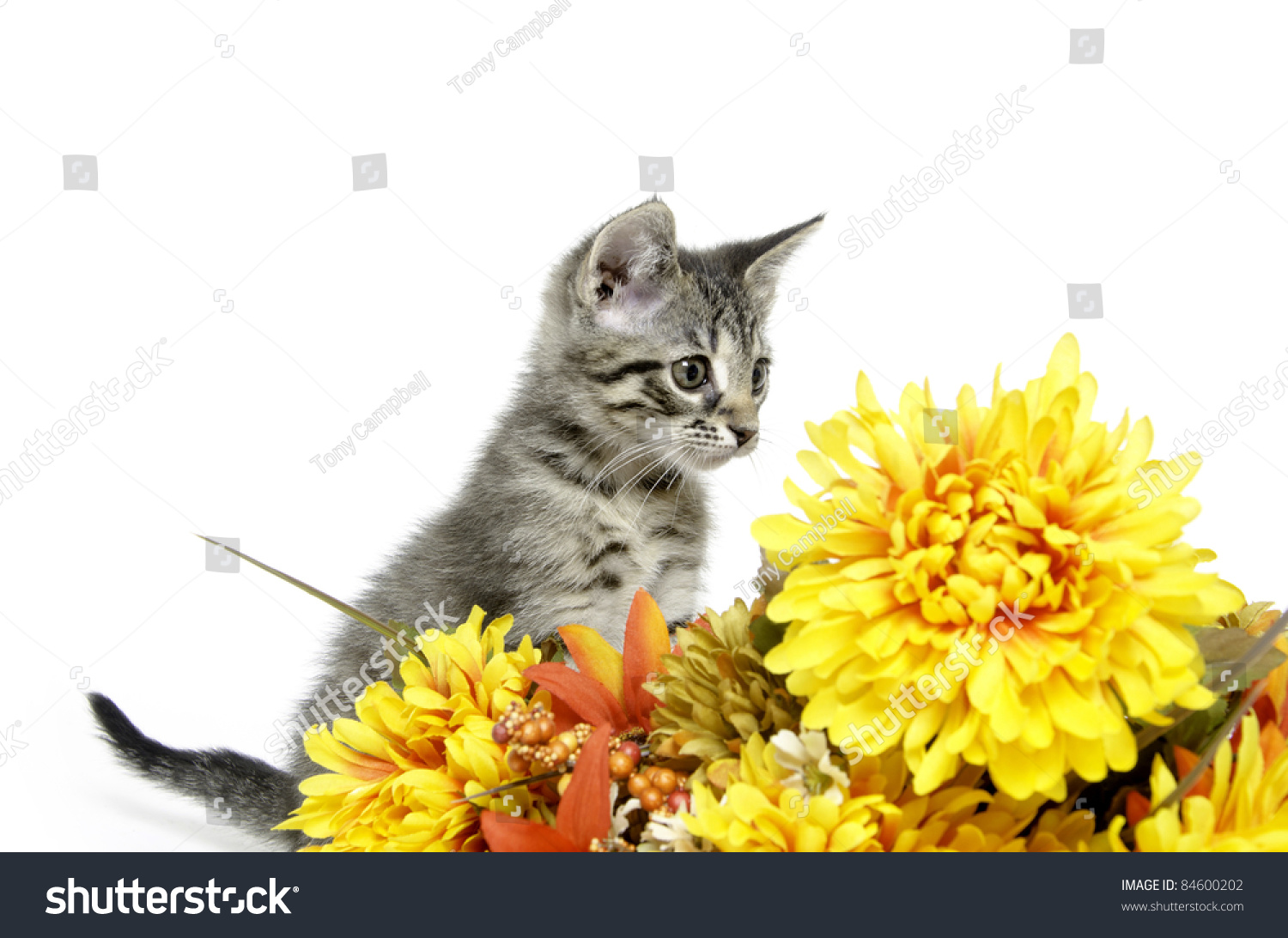Cute Tabby Kitten Sitting With Pretty Yellow Flowers On White