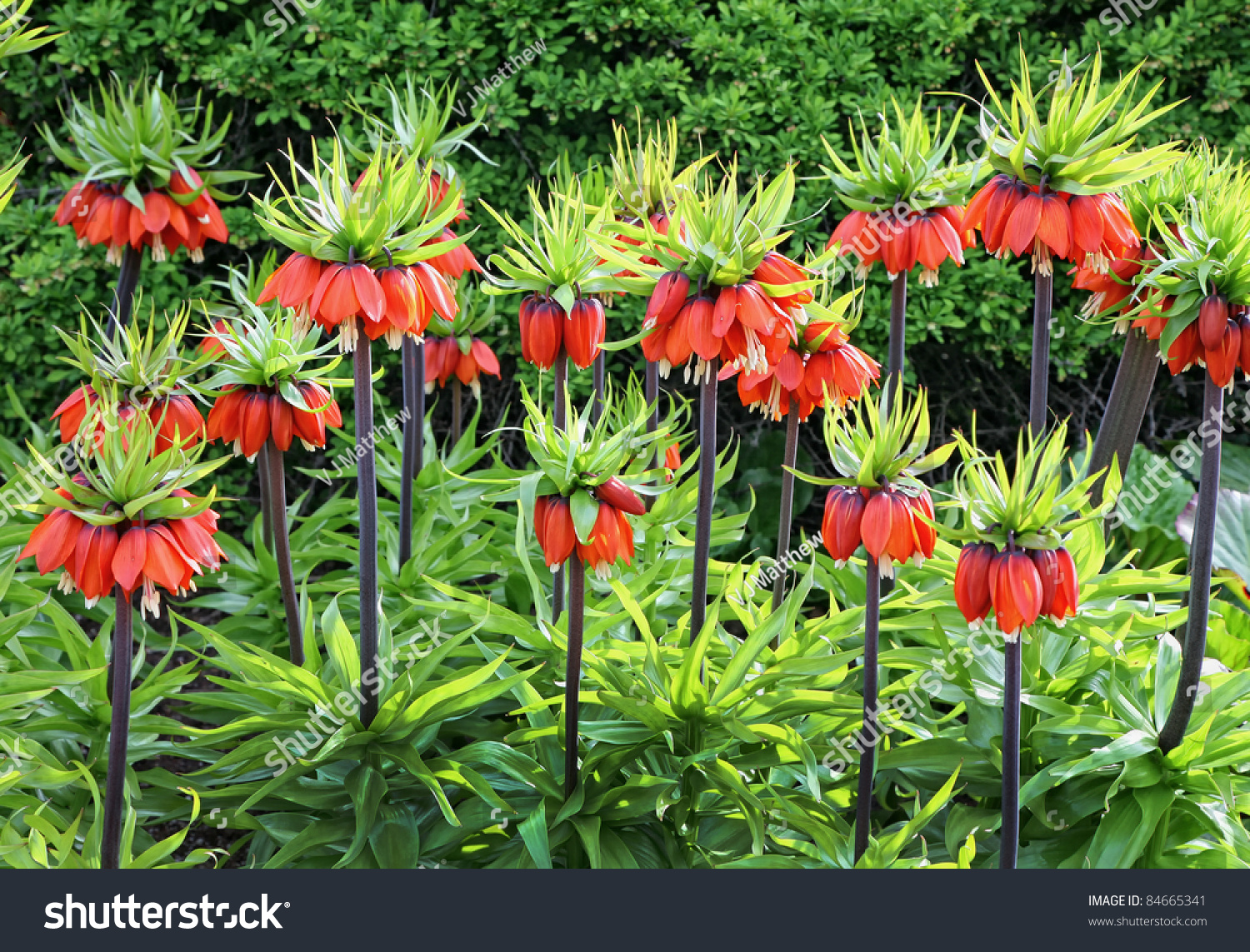 Orange Crown Imperial Flowers Fritillaria Imperialis Stock Photo