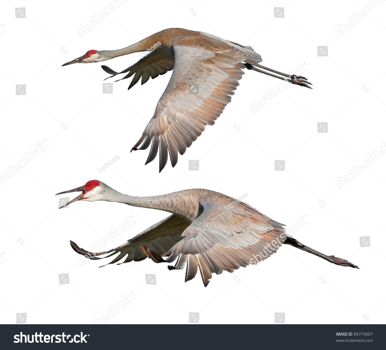 Two Sandhill Cranes, in flight, isolated on white. Latin name - Grus cannadensis.