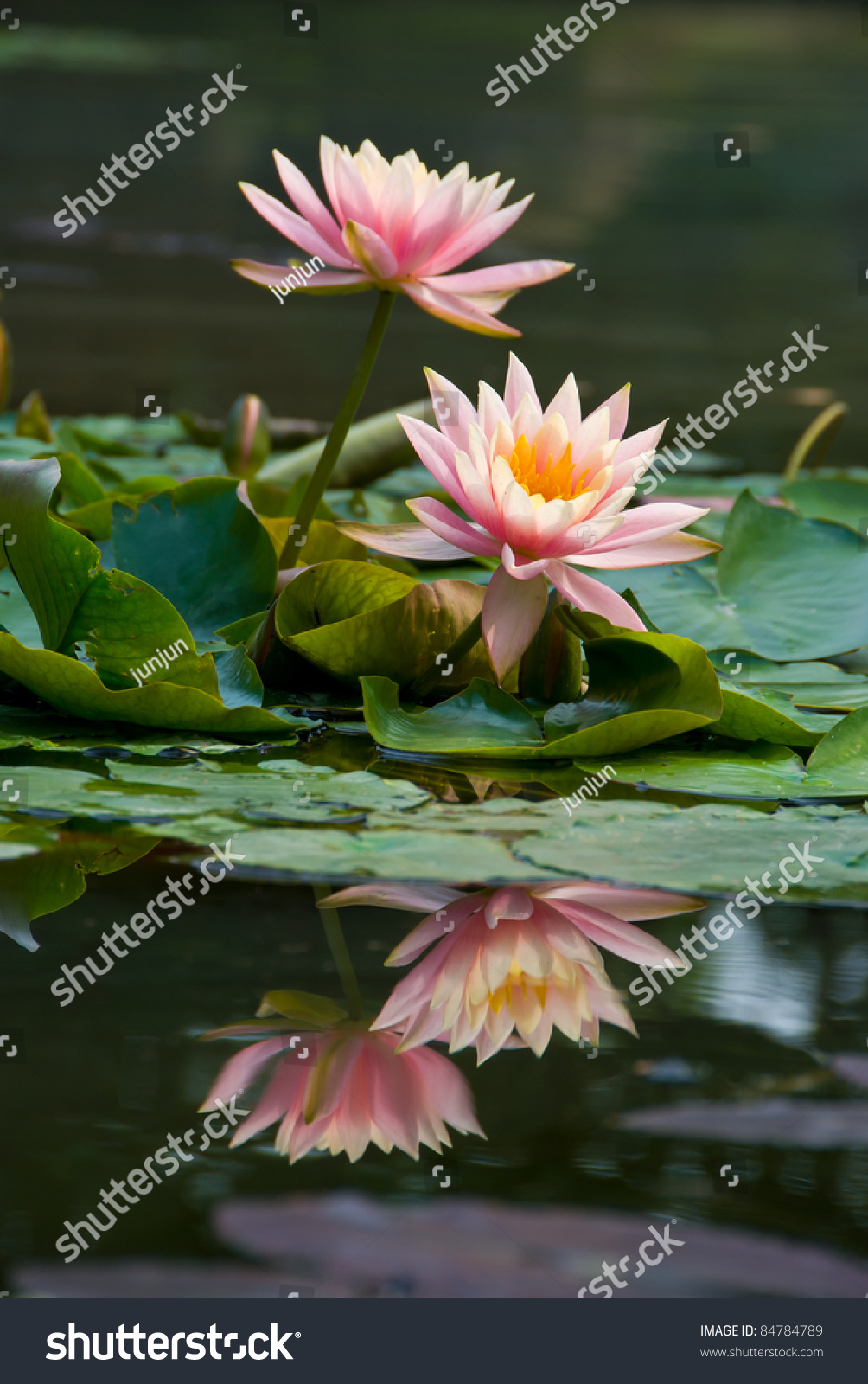 Pink Lotus Flower Blooming Summer Lotus Stock Photo Edit Now