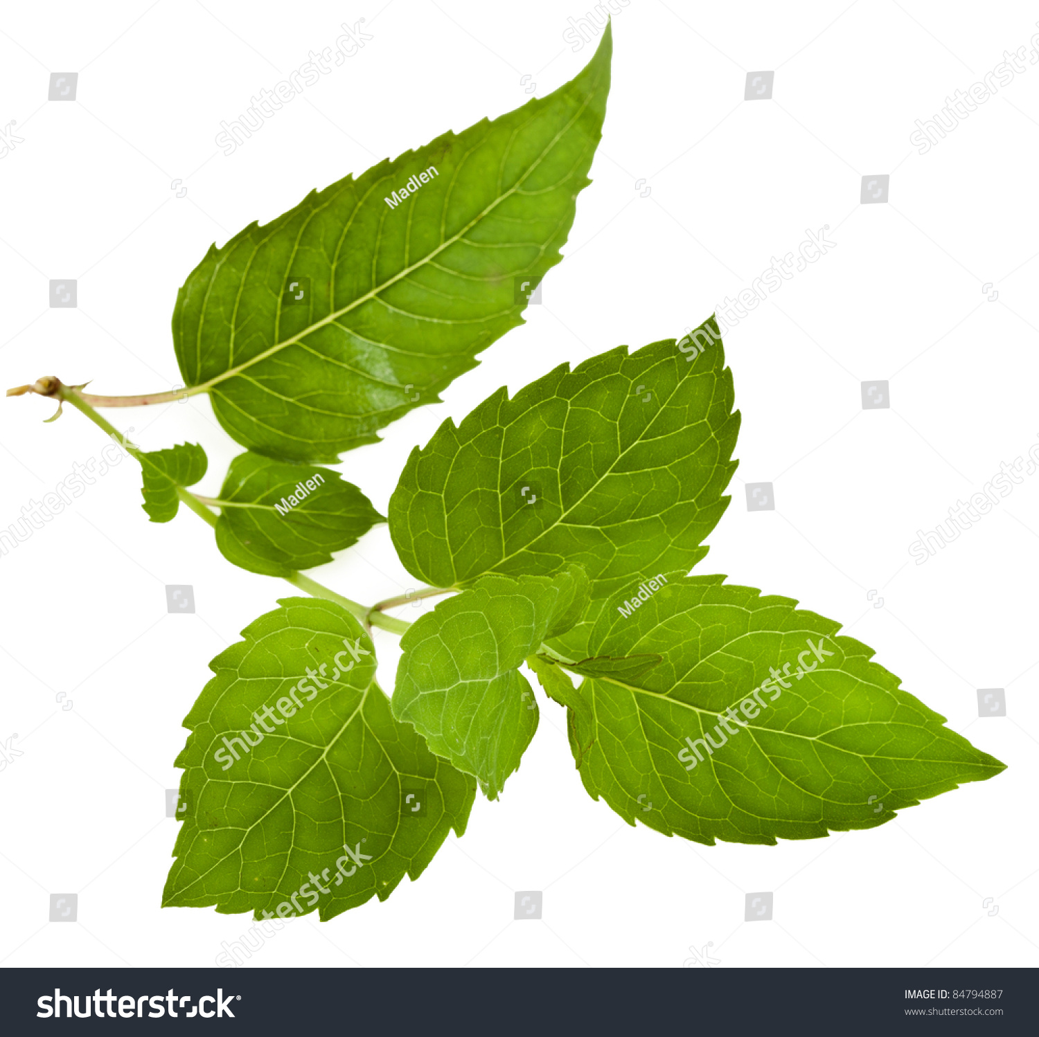 Bergamot Fresh Mint Herb Leaves ( Monarda Didyma ) Close ...