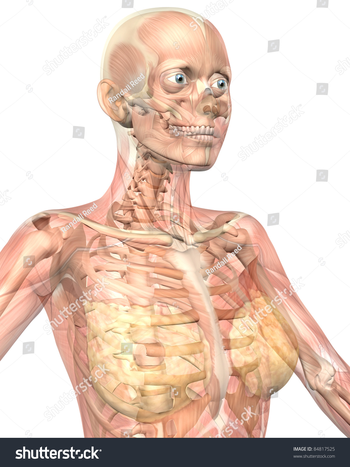 Illustration Close View Female Muscular Anatomy Stock Illustration