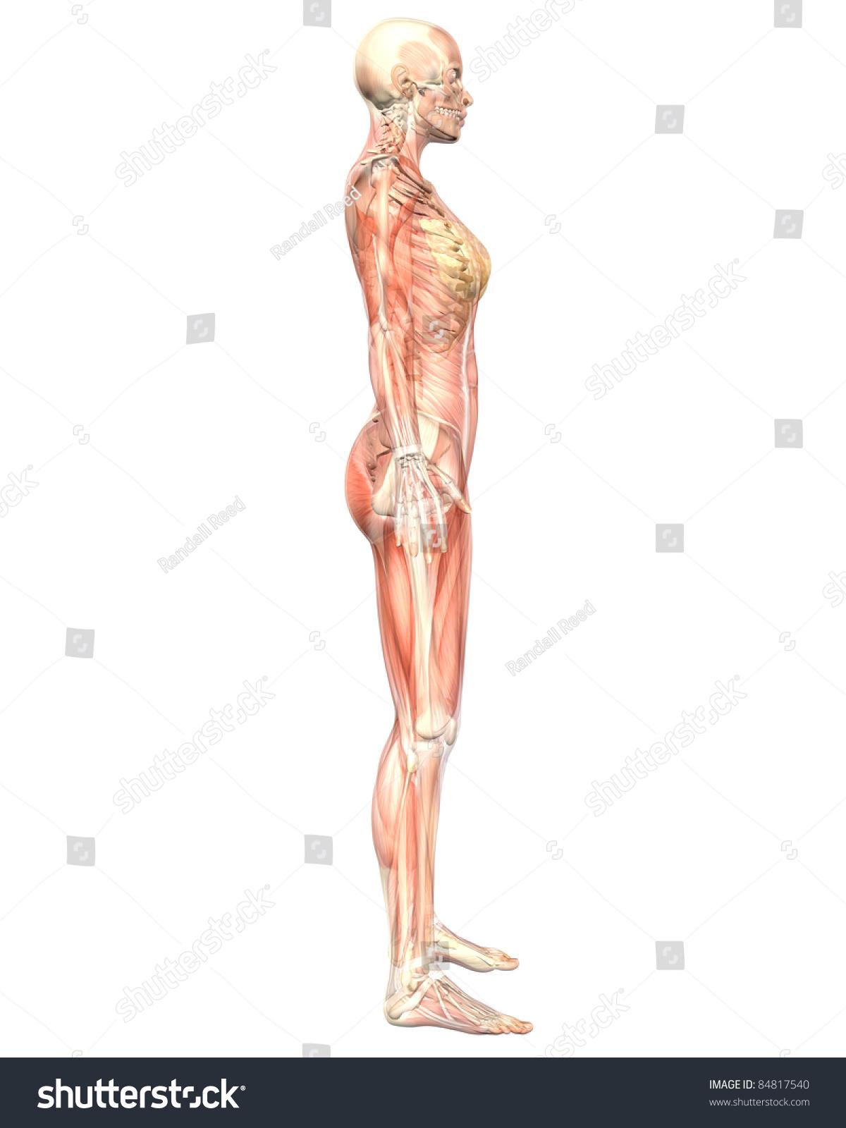 Illustration Side View Female Muscular Anatomy Stock Illustration ...