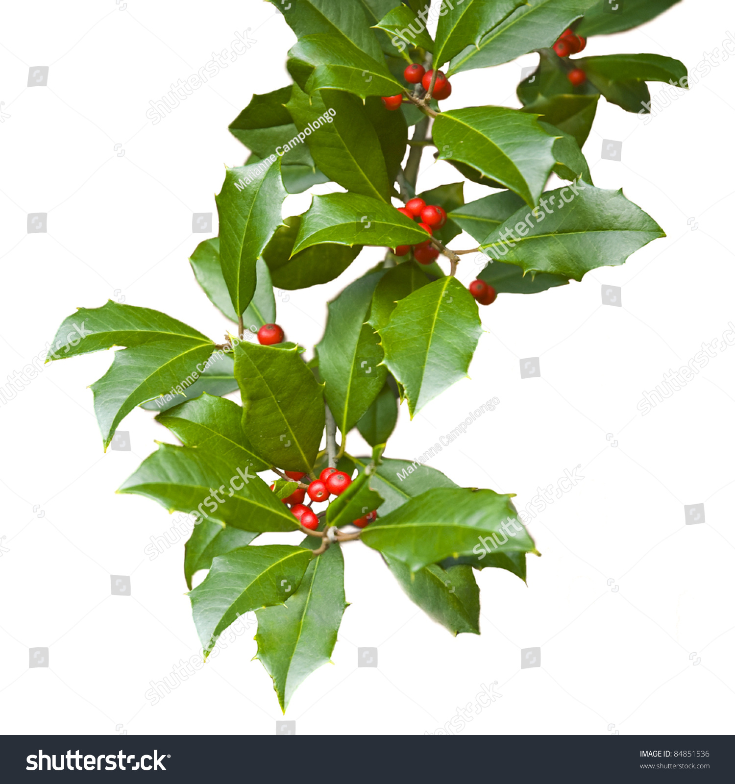 Christmas Holly Tree Part - 42: American Holly Branch Sprig (iilex Opaca) With Leaves And Berries Isolated  On White For