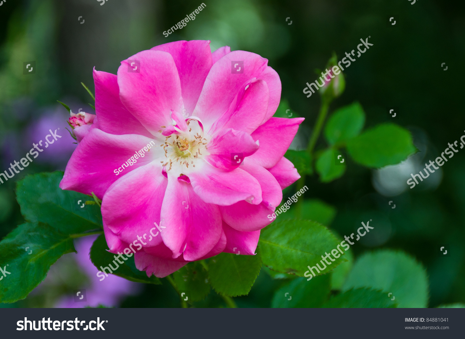 Pretty Pink Flower Over Green Leaves Stock Photo Edit Now 84881041