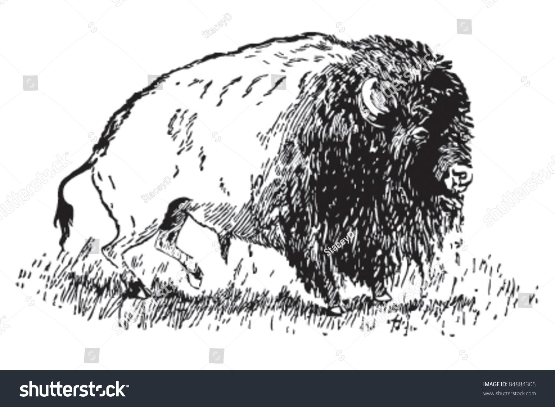 buffalo north american bison song hiawatha stock vector  buffalo north american bison the song of hiawatha longfellow