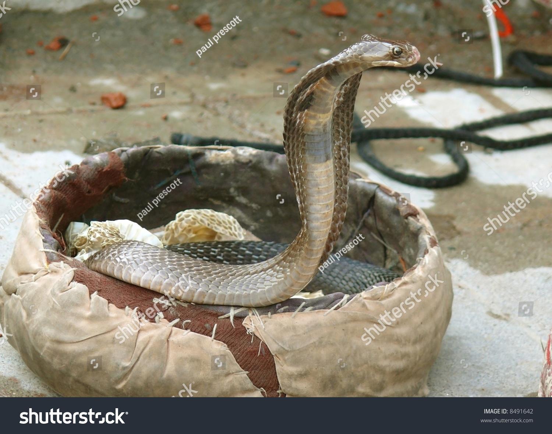 Фото кобра крупным планом 17 фотография