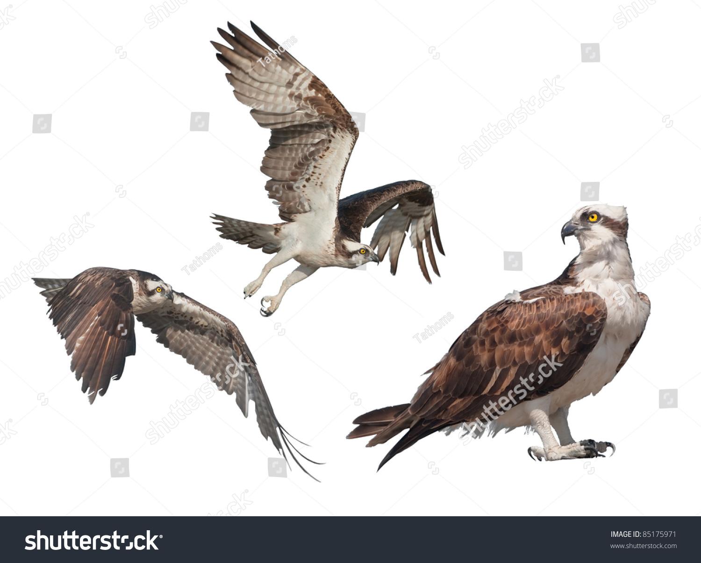 Ospreys still and  in flight, isolated on white. Latin name - Pandion haliaetus.