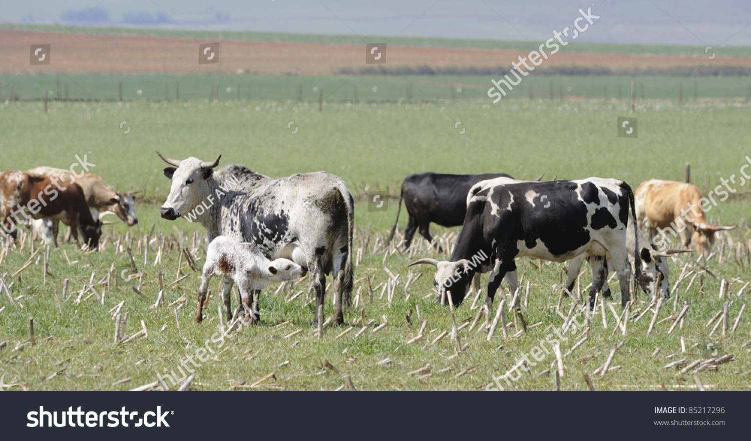 Underberg South Africa  City pictures : Nguni Cow Suckling Her Calf, Underberg, South Africa Stock Photo ...