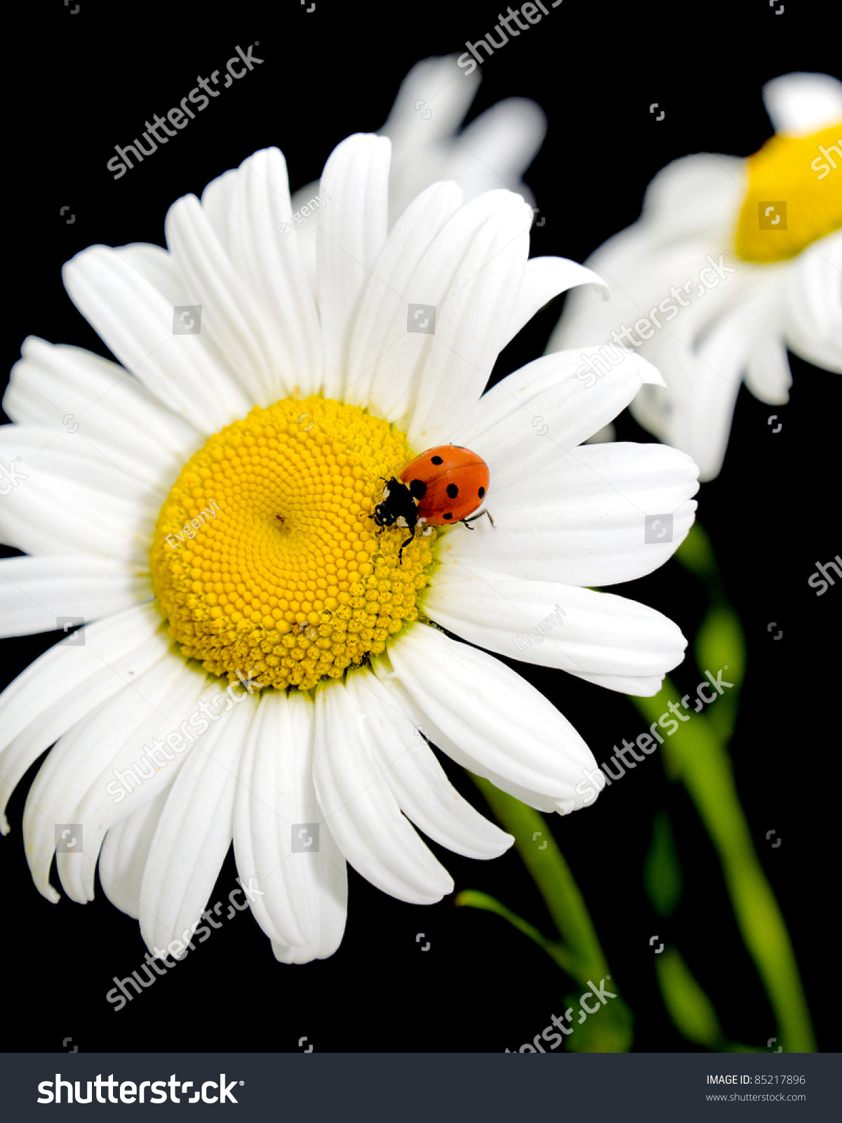 Ladybug sits on flower daisies on stock photo edit now 85217896 ladybug sits on a flower daisies on black background izmirmasajfo