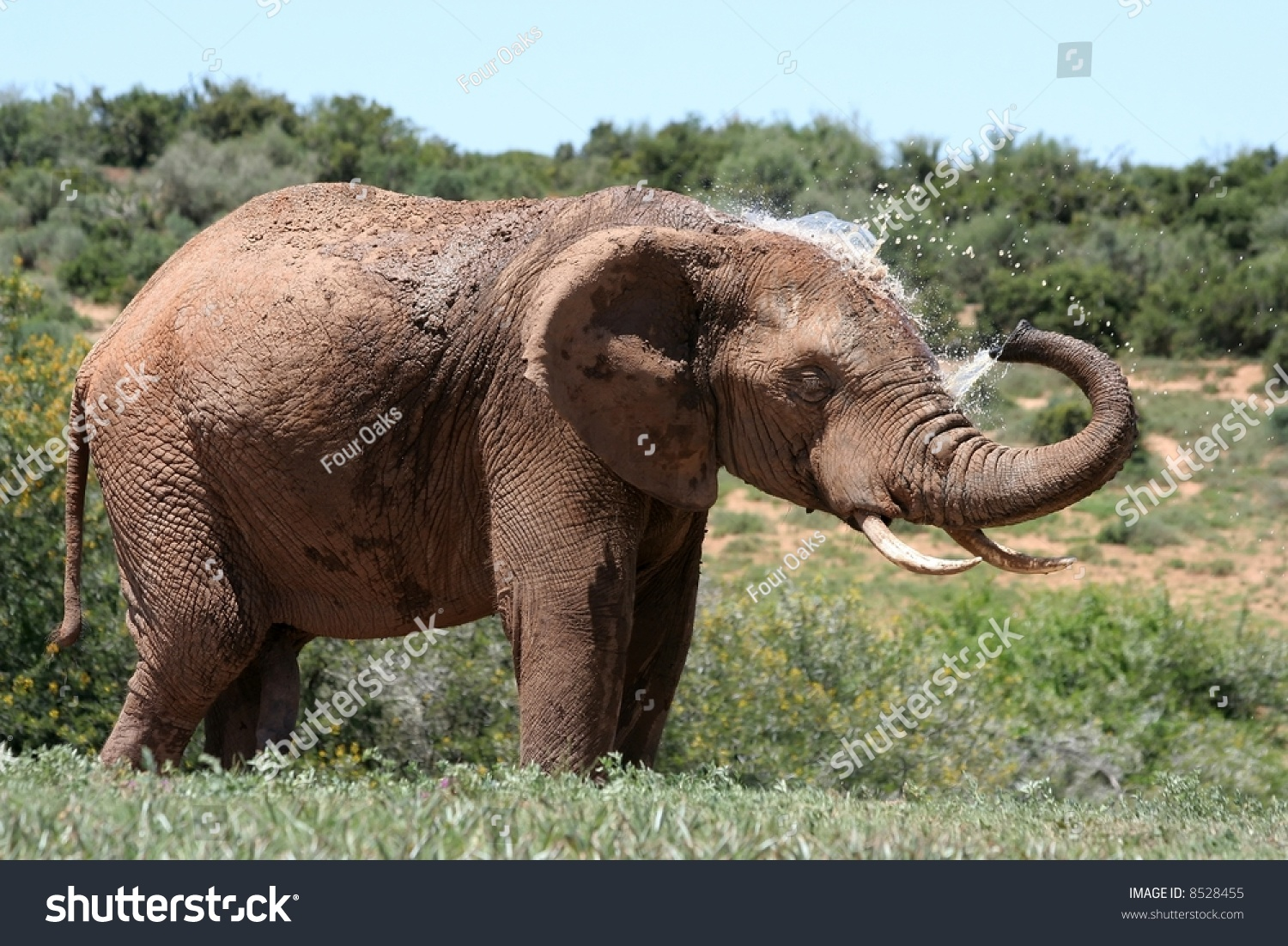 African elephant spraying water out trunk stock photo 8528455 an african elephant spraying water out of its trunk onto its head to cool down biocorpaavc Images