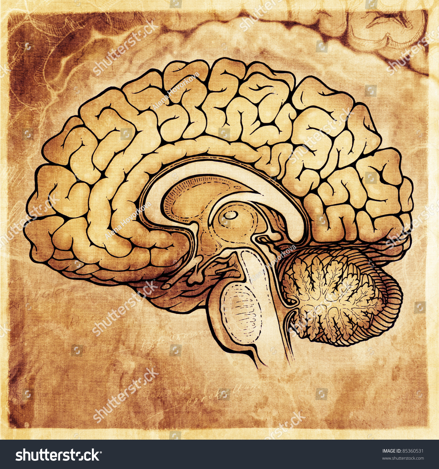 Stock Photo Human Brain