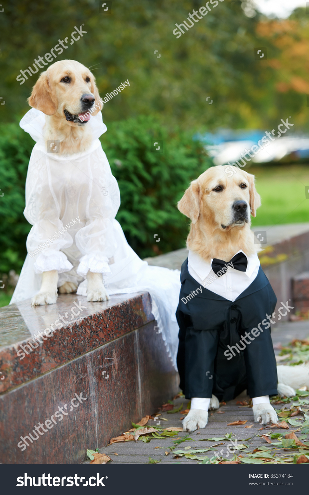 Two Golden Retriever Dogs Wedding Clothing Sitting