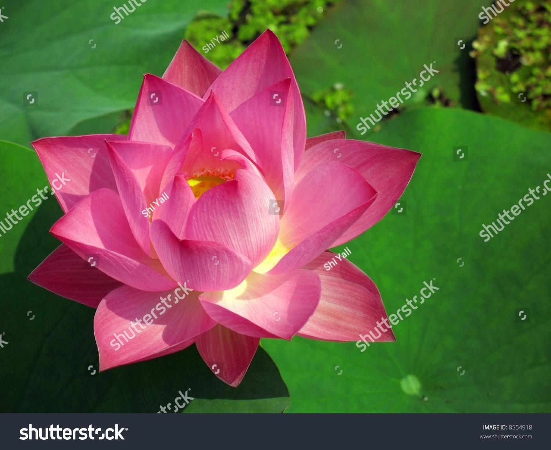 Radiant Lotus Flower Asia This Flower Stock Photo Edit Now 8554918