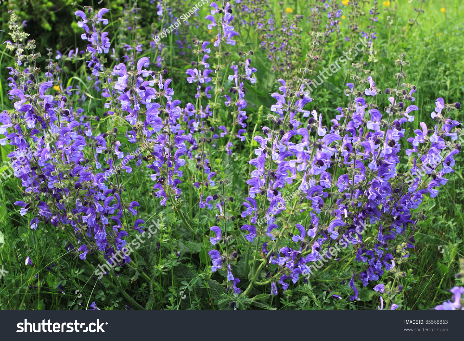 Meadow sage salvia pratensis herbaceous perennial for Poolrand gestalten
