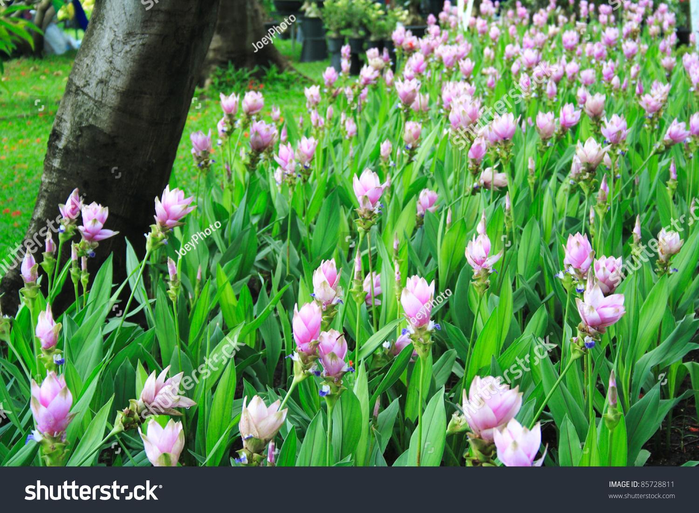 flowers field curcuma alismatifolia siam tulip stock photo