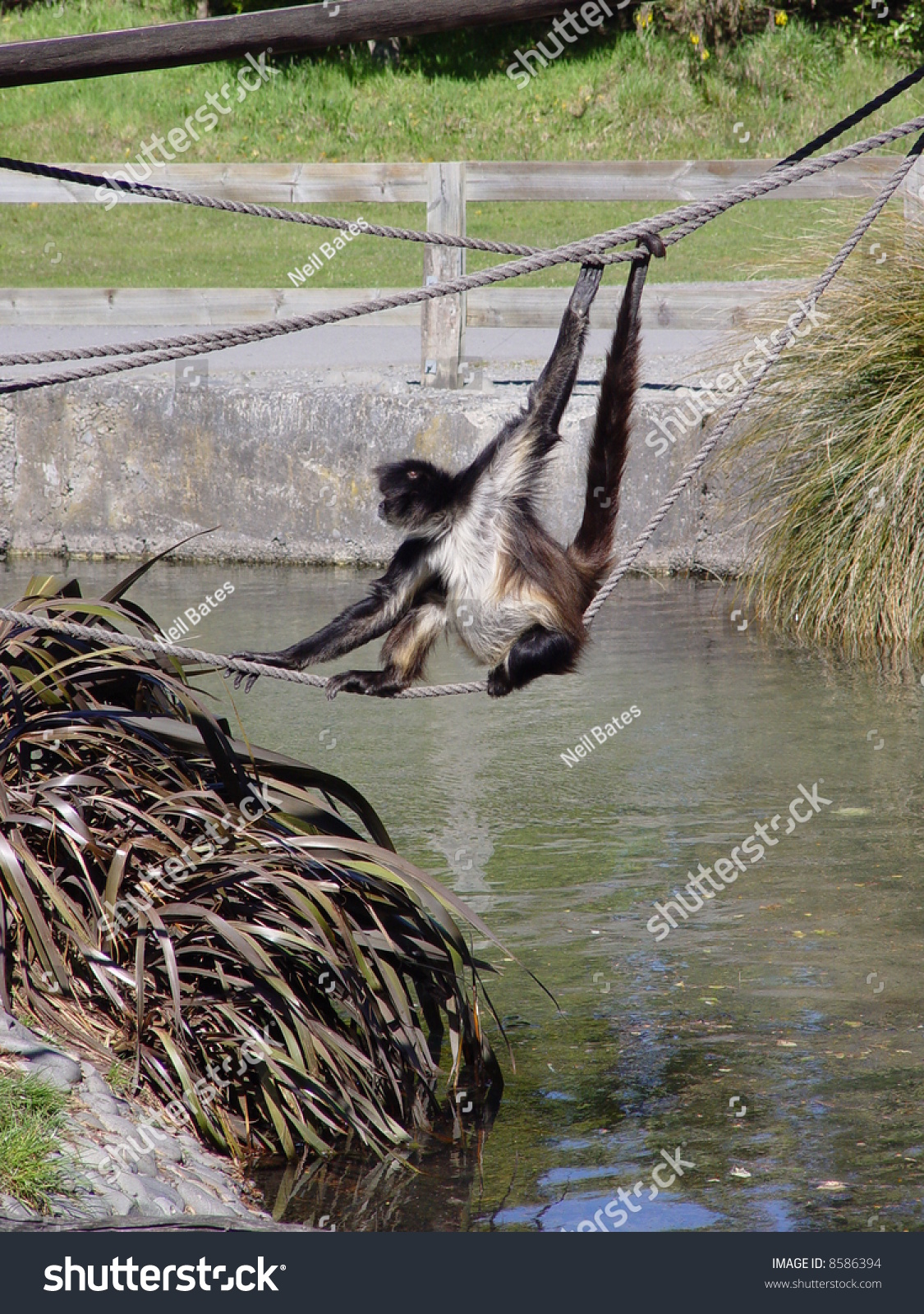 Spider Monkey - Playing Stock Photo 8586394 : Shutterstock