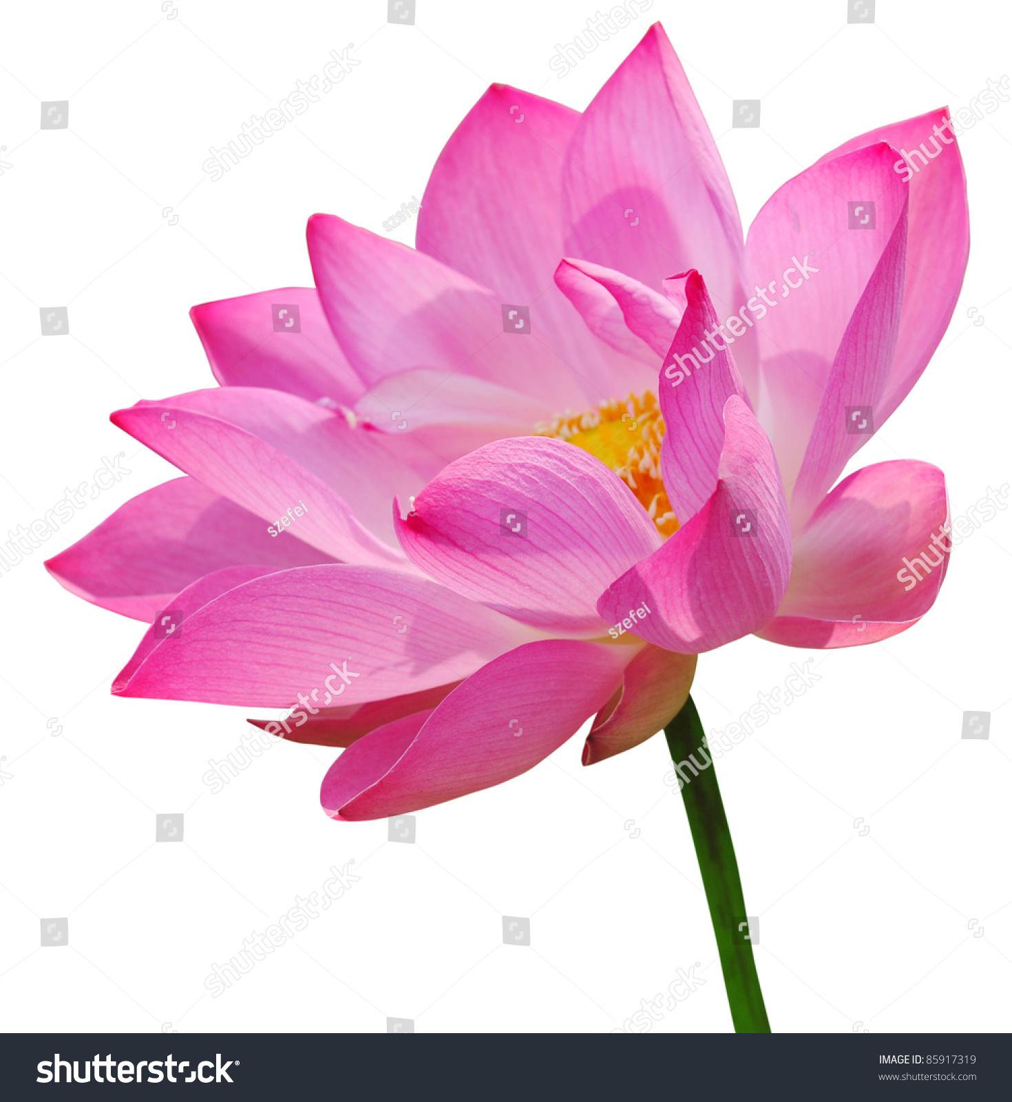 Pink lotus on white background stock photo royalty free 85917319 pink lotus on white background izmirmasajfo