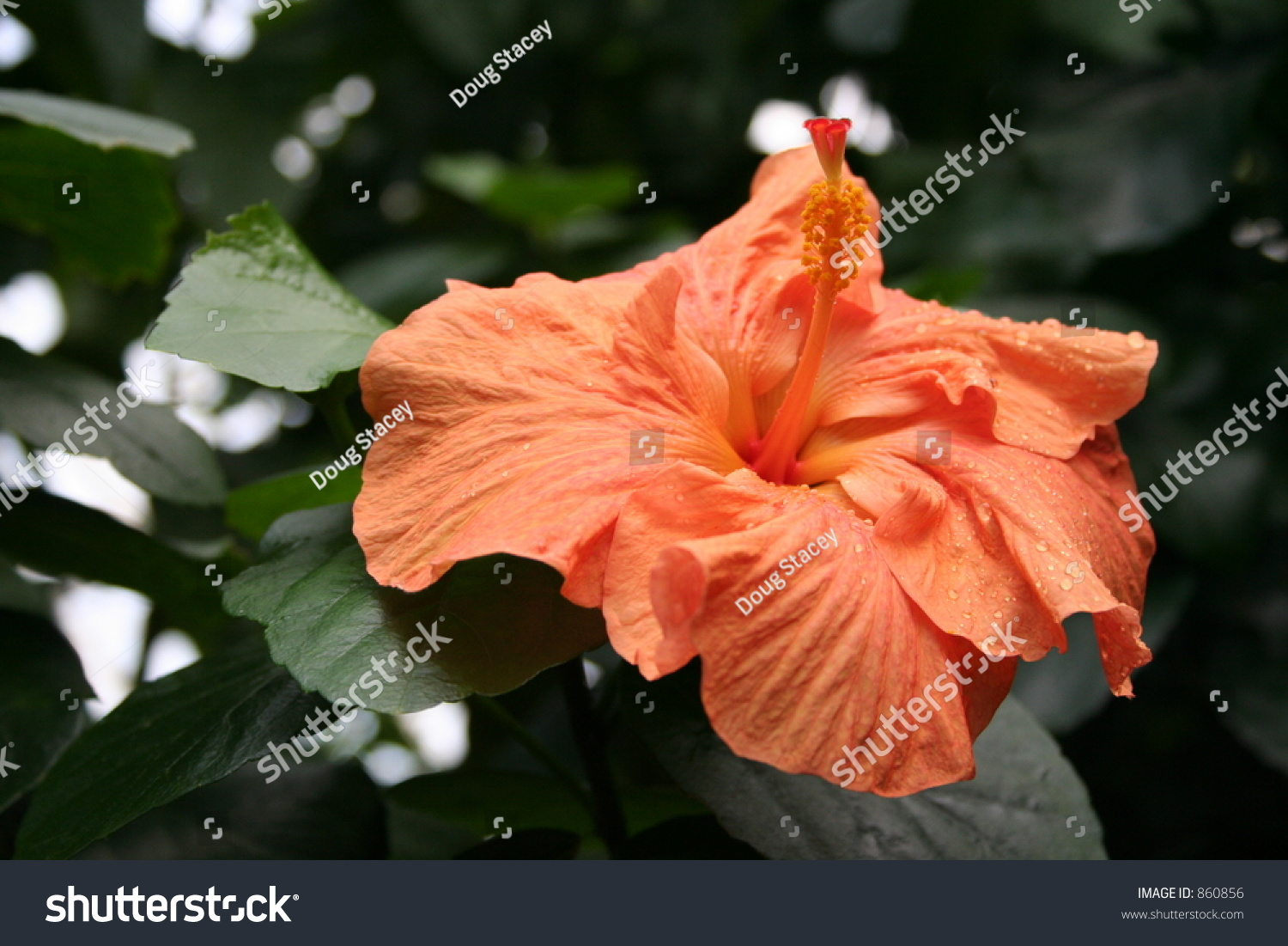 Stunning Large Orange Flower On Tropical Stock Photo Edit Now