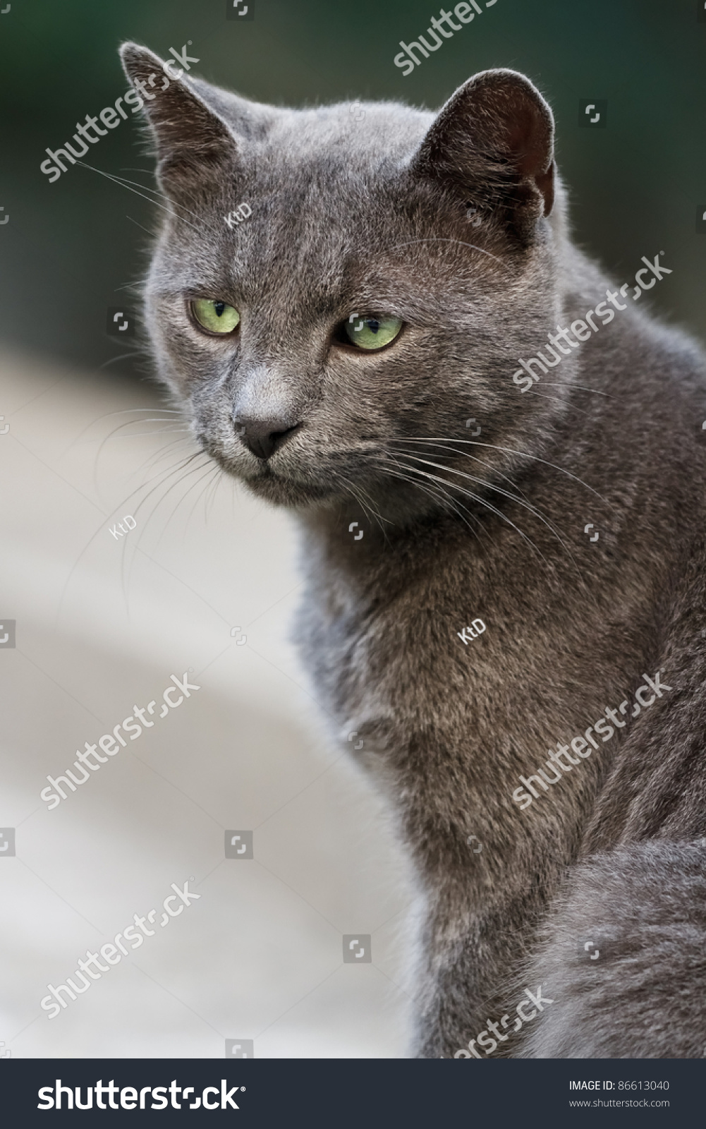 Portrait Beautiful Grey Cat Green Eyes Stock