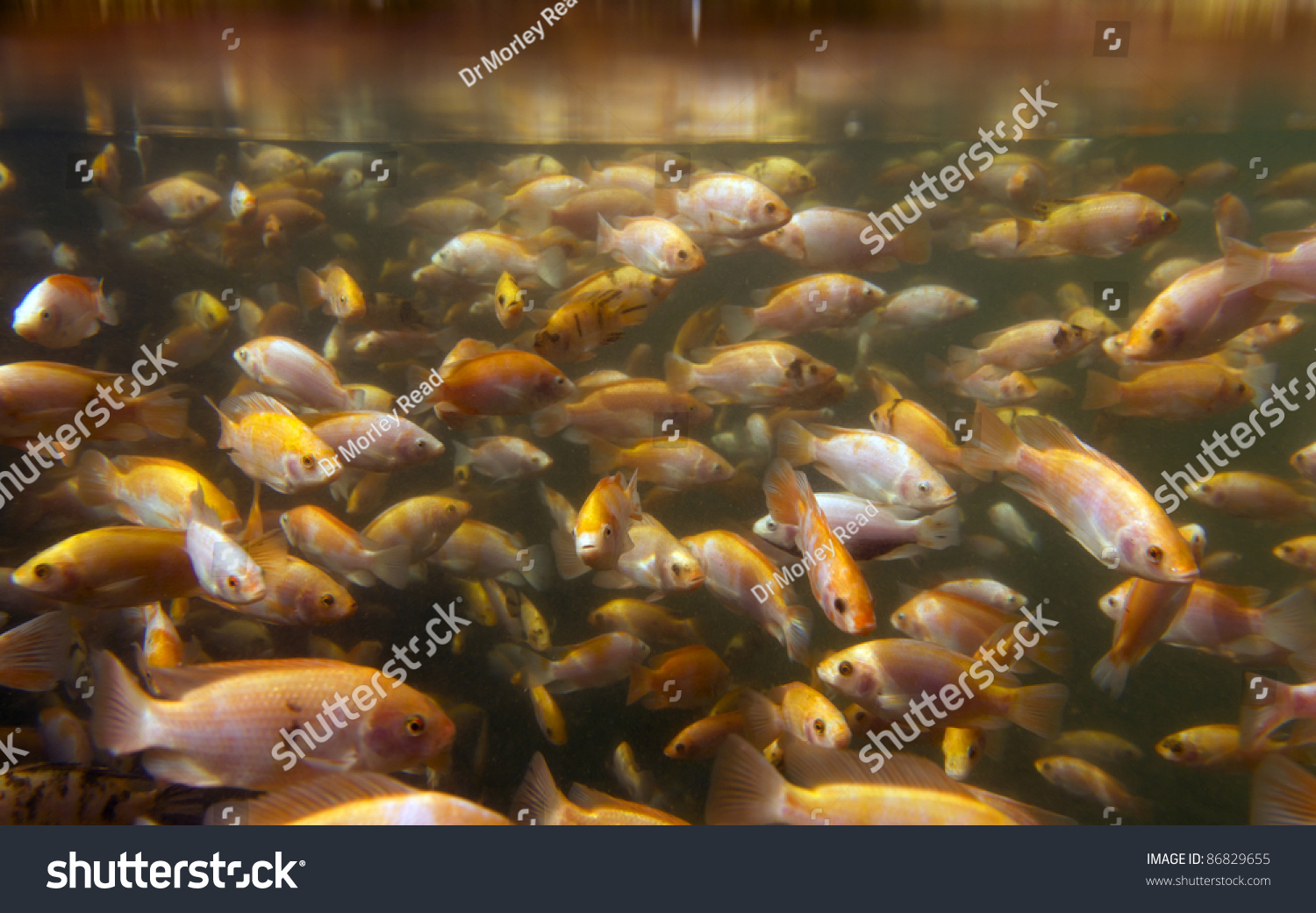 Tilapia underwater at a fish farm stock photo 86829655 for Tilapia swimming