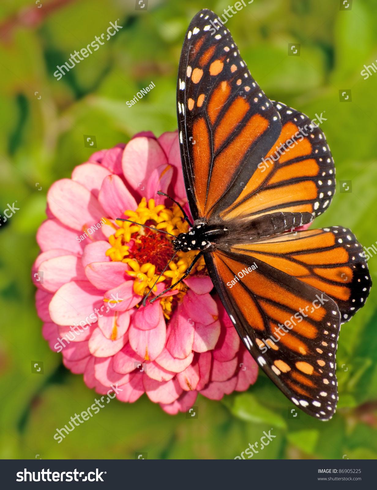 dorsal view female monarch butterfly danaus stock photo 86905225