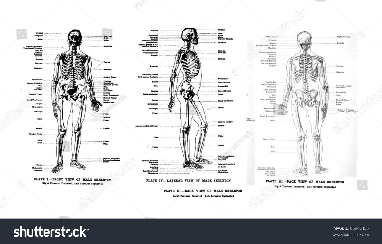 3 views human skeleton full frontal stock photo 86942455, Skeleton
