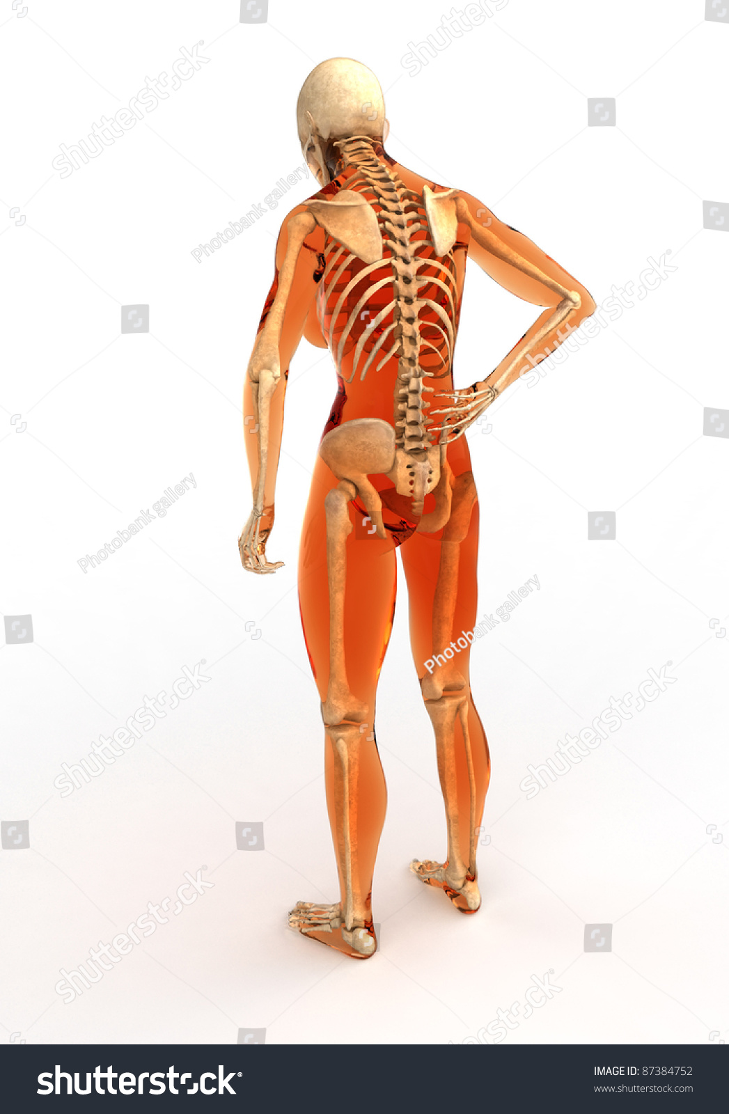 Human Body Skeleton Back View Stock Illustration Royalty Free