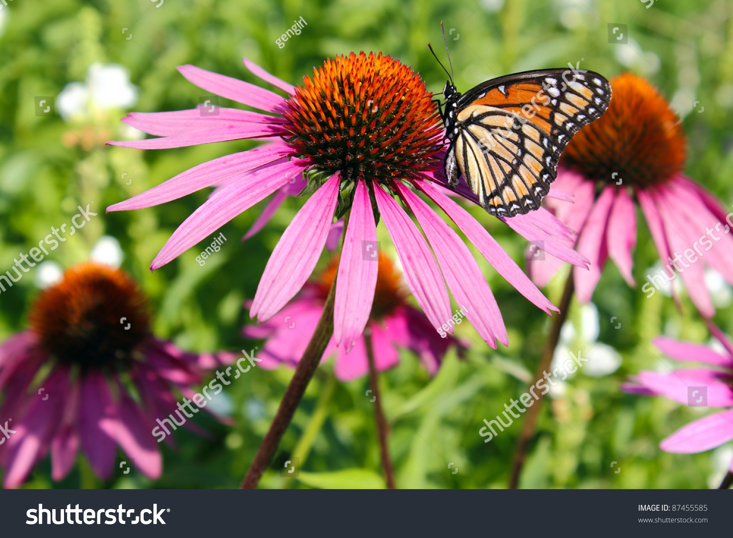 Monarch Butterfly On A Purple Cone Flower Stock Photo