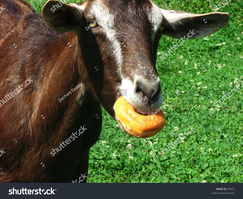 Goat Eating Donut Stock Photo 87472 - Shutterstock