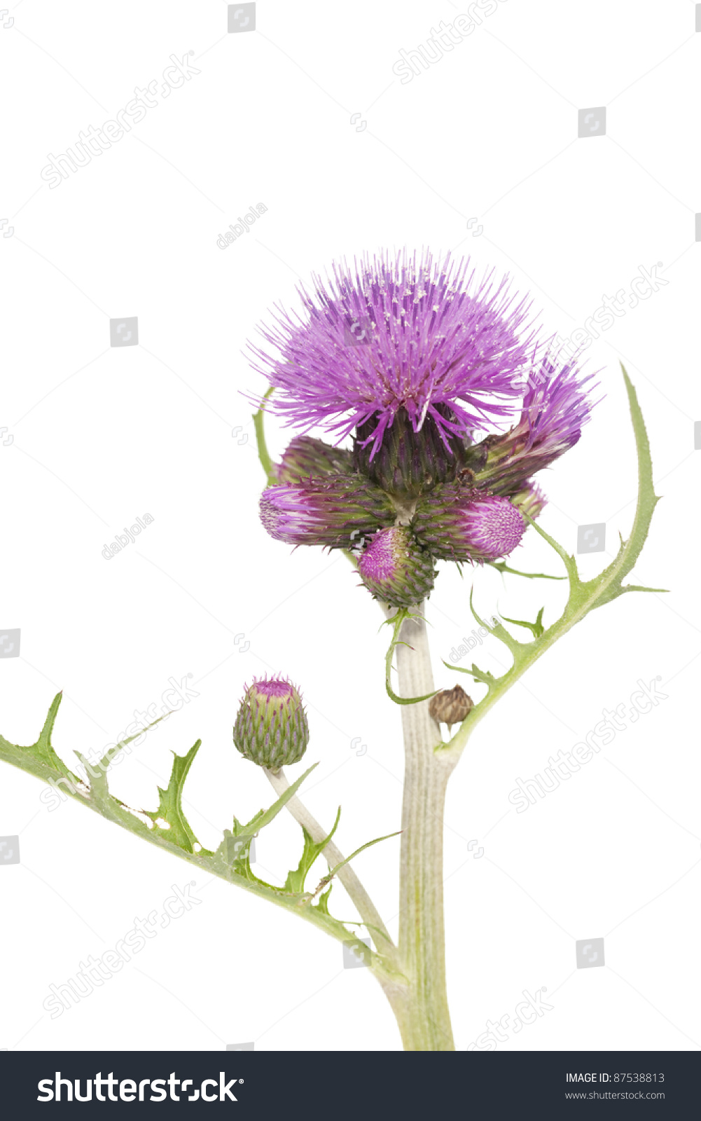 Purple Prickly Flower Thistle On White Stock Photo Edit Now