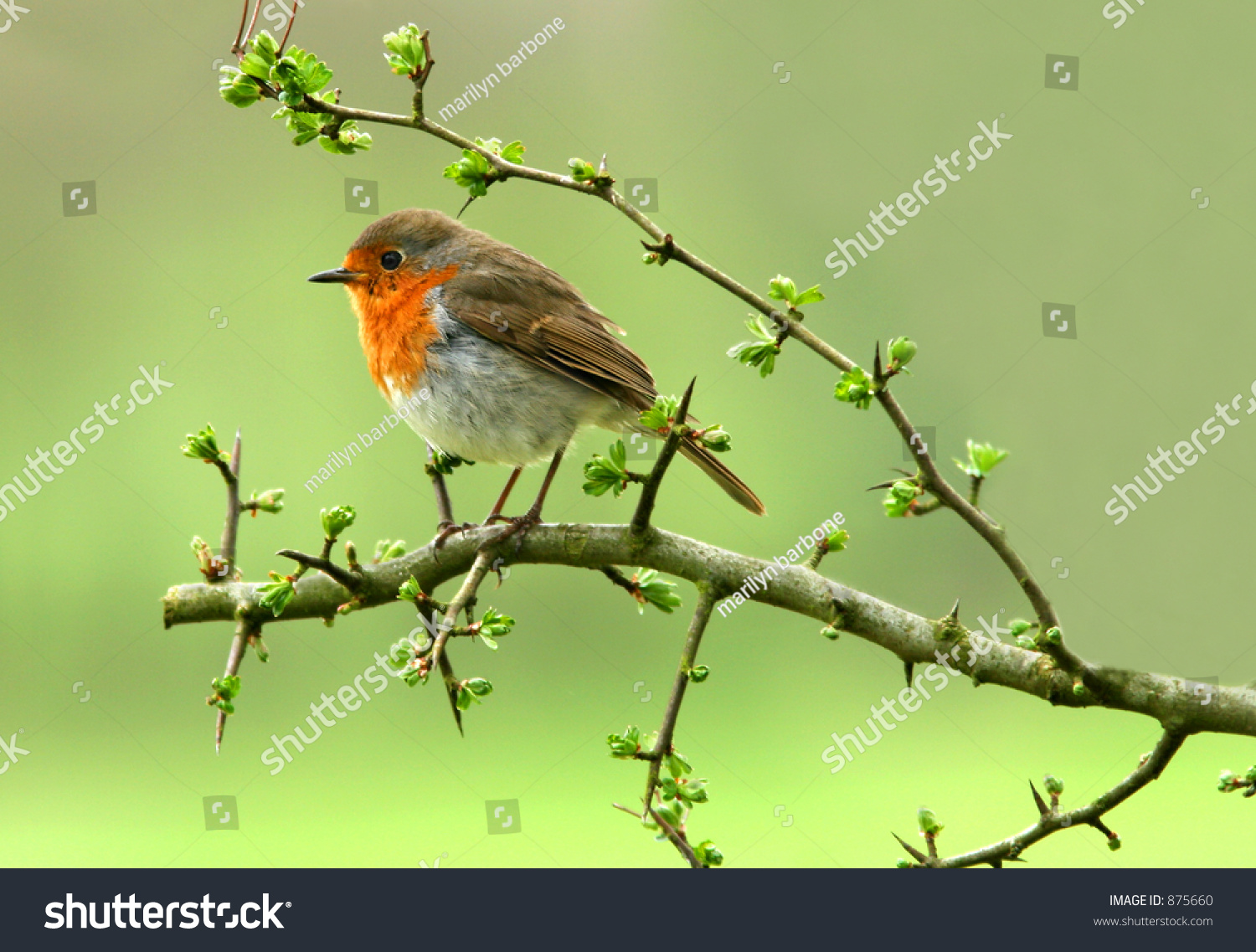 robin sitting on branch hawthorn tree stock photo 875660