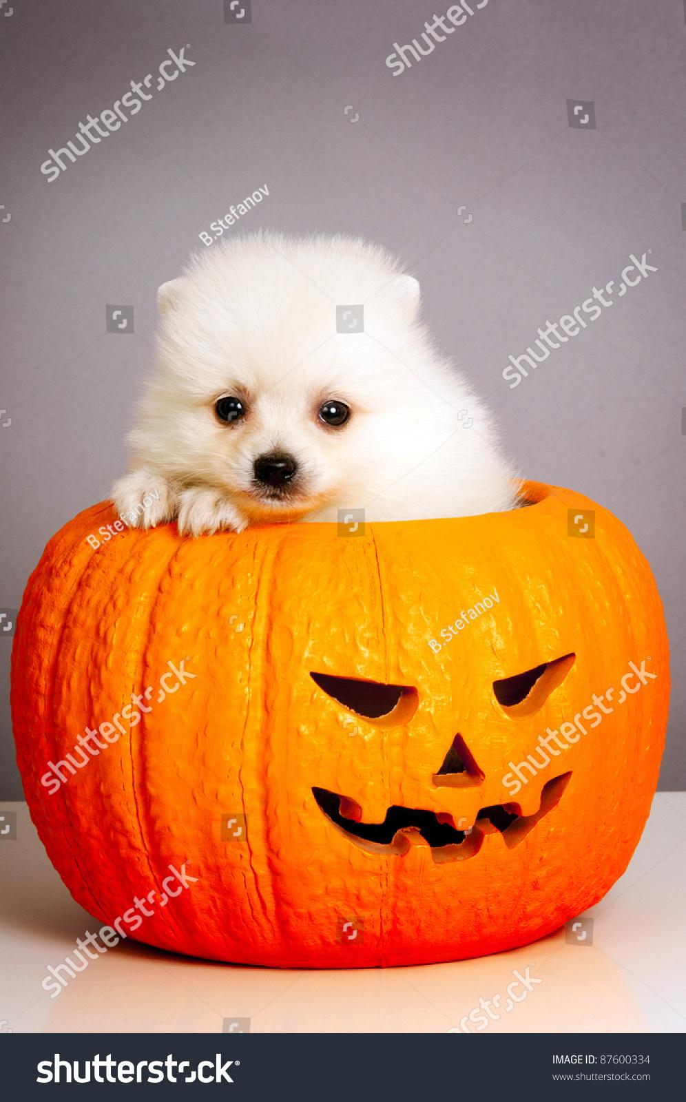 jack o lantern pumpkin puppy pomeranian stock photo (edit now