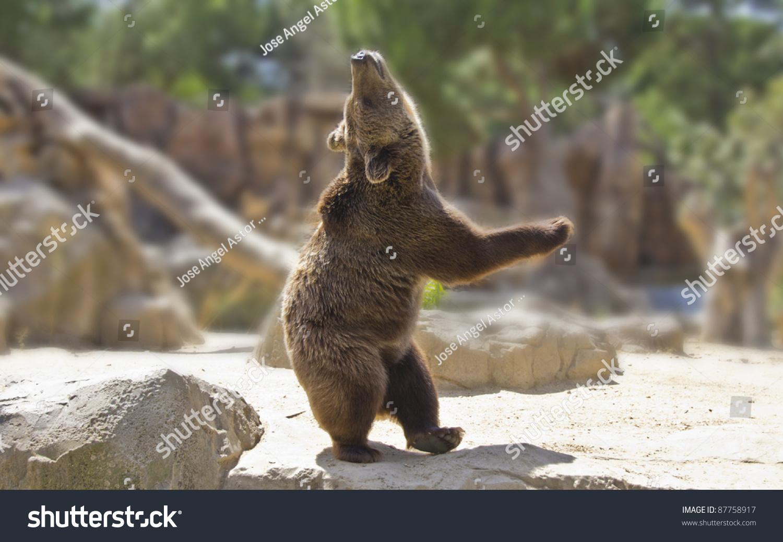 dancing bear in action
