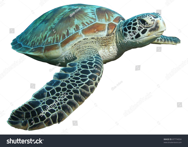 turtle white background - photo #28