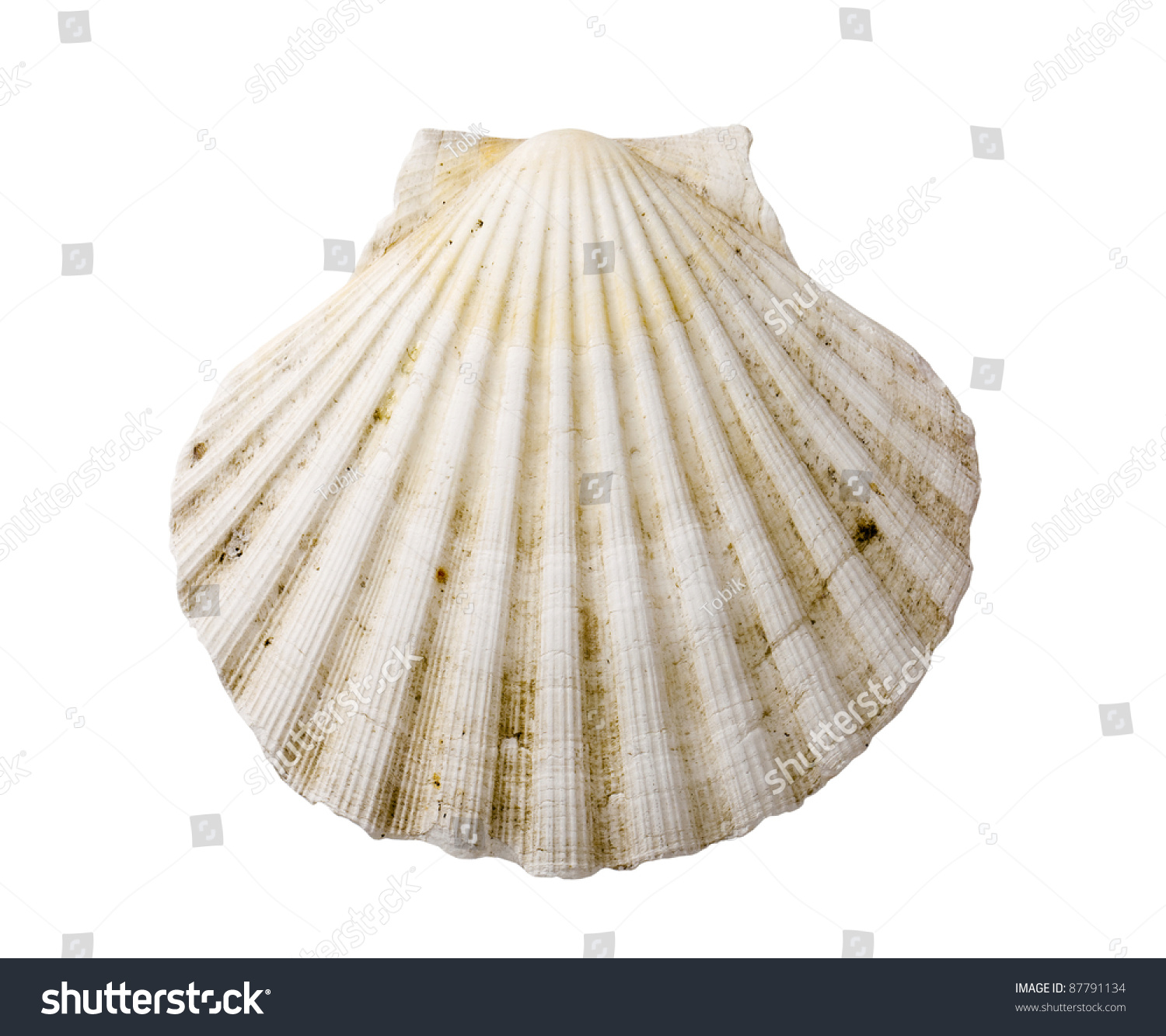 Scallop shell stock photo 87791134 shutterstock scallop shell biocorpaavc Image collections