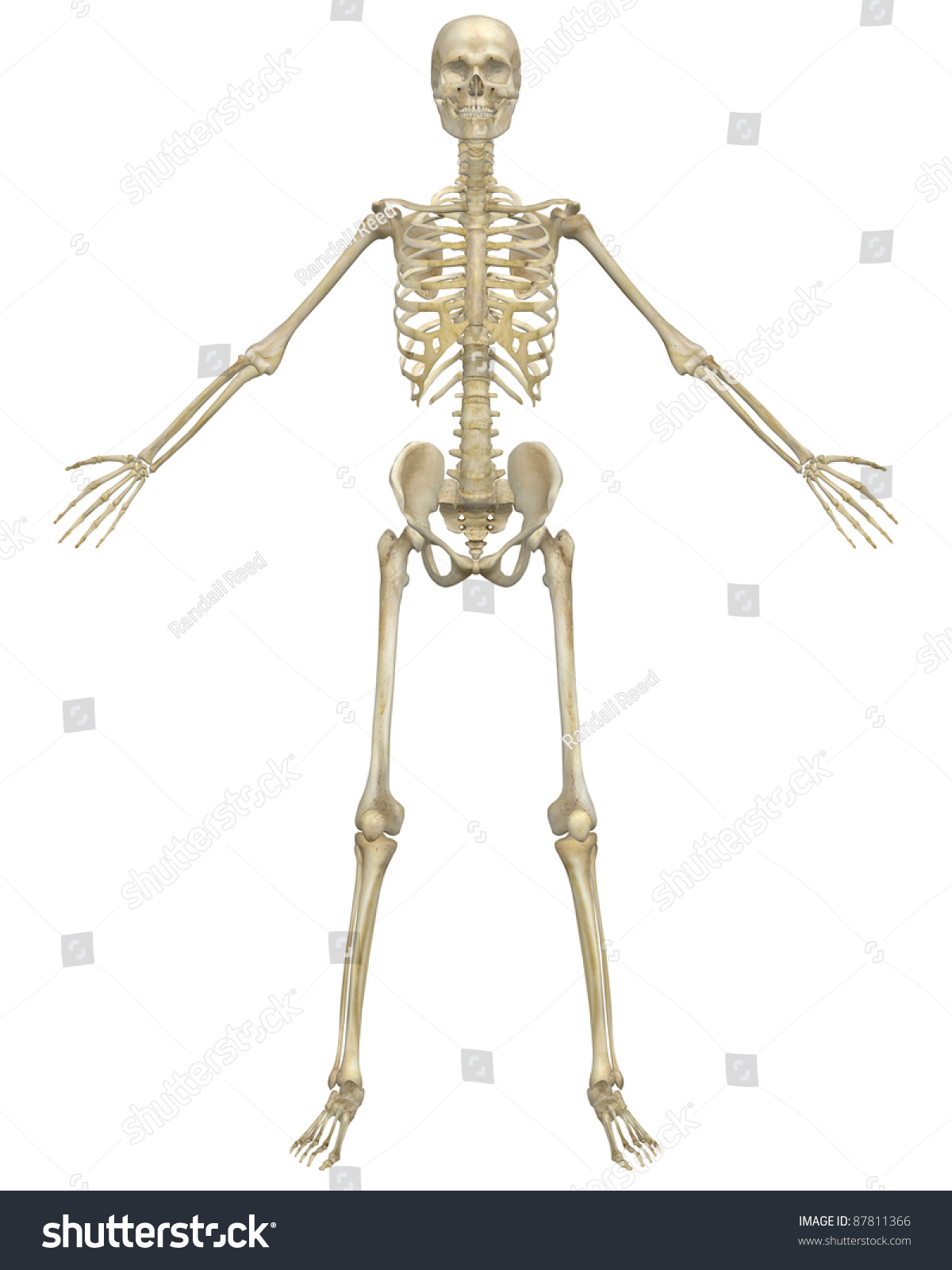 Front View Illustration Human Skeletal Anatomy Stock Illustration