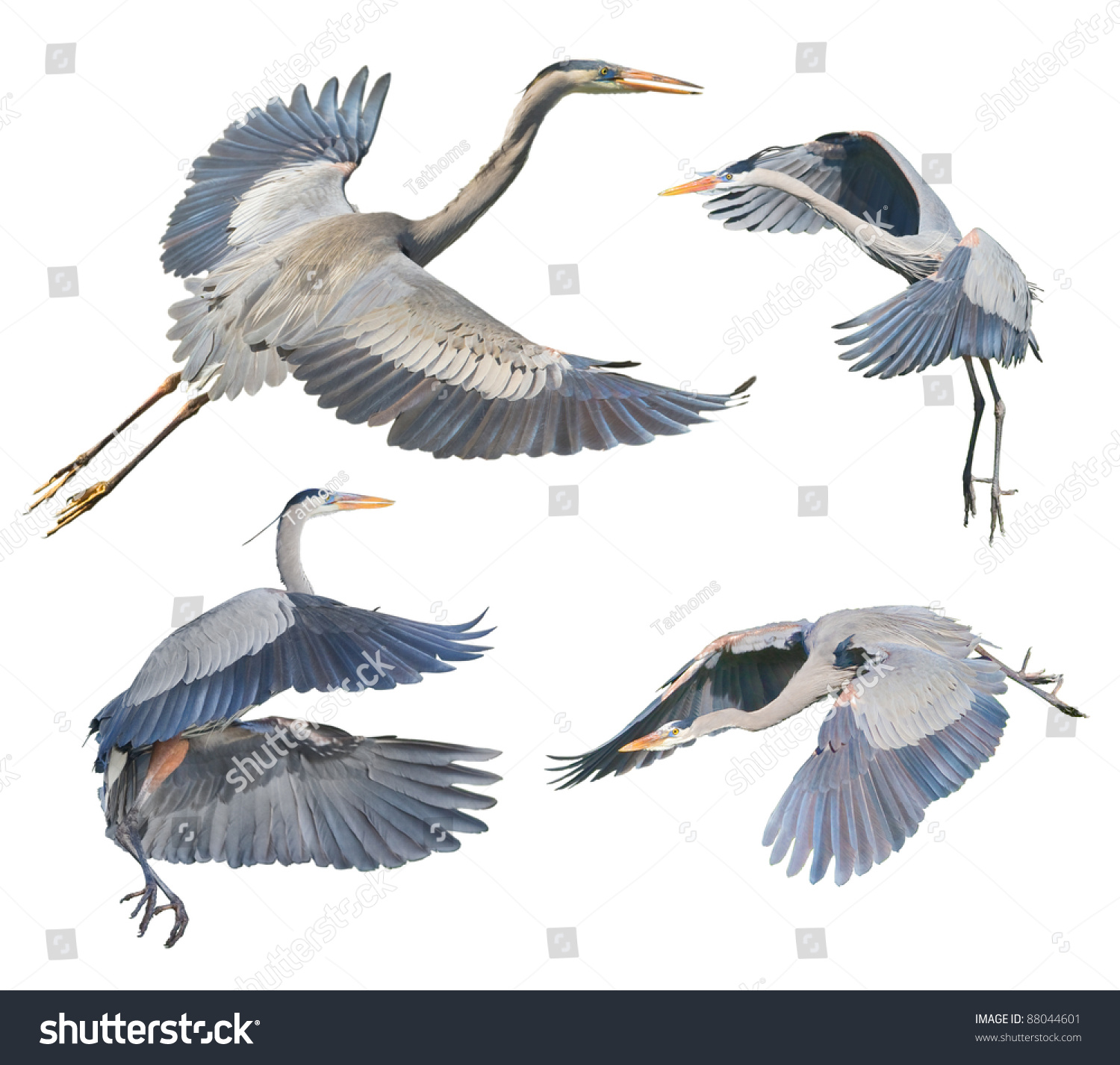 Great Blue Herons in flight, isolated on white. Latin name - Ardea heroida.