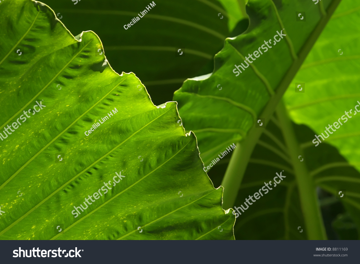 Layers Of Abstract Yam Leaves Stock Photo 8811169 : Shutterstock