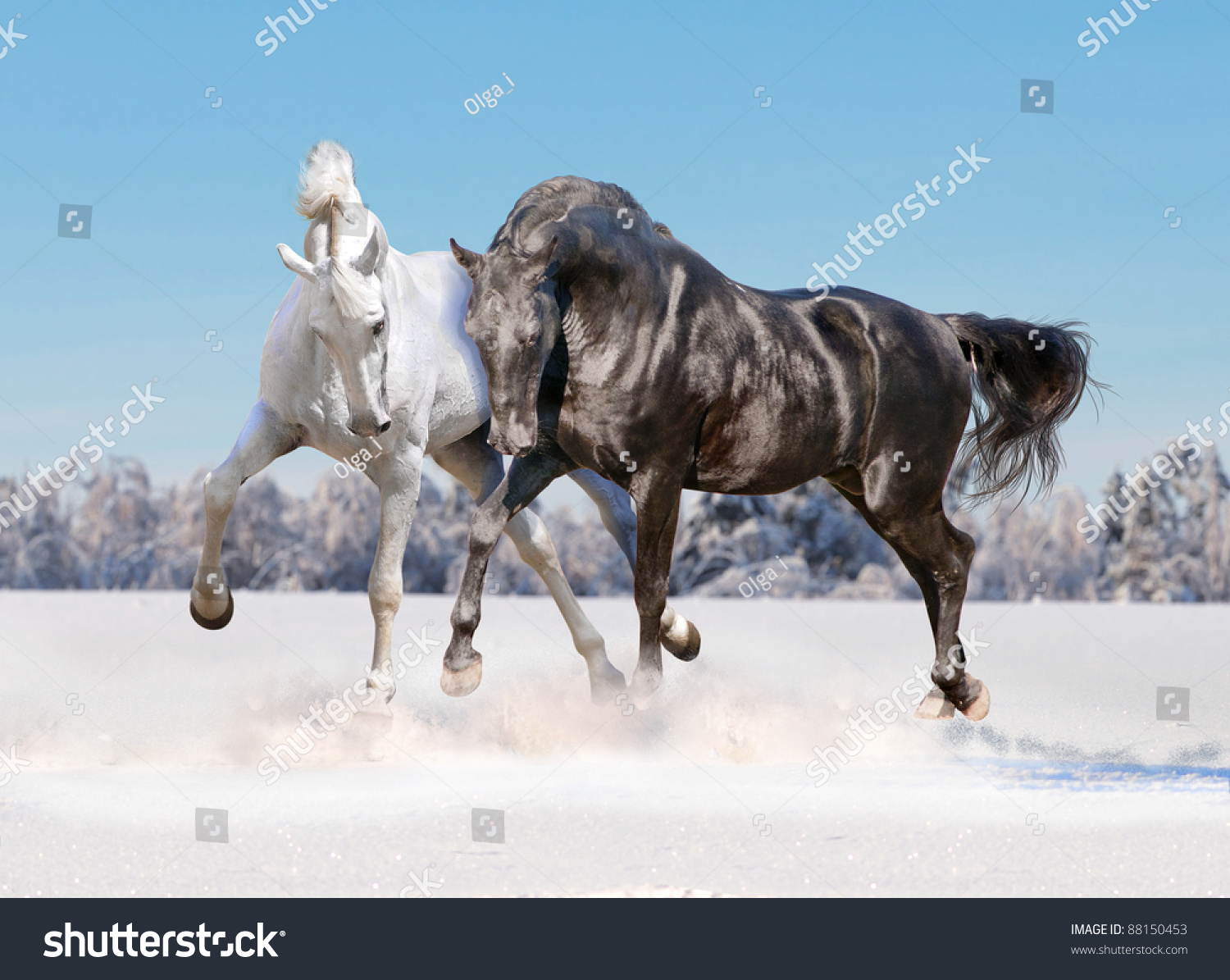 Black and white horses running