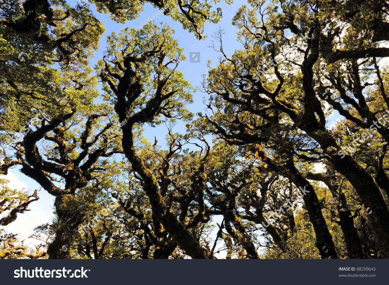 Beech Forest On Lake Waikaremoana Great Stock Photo (Edit