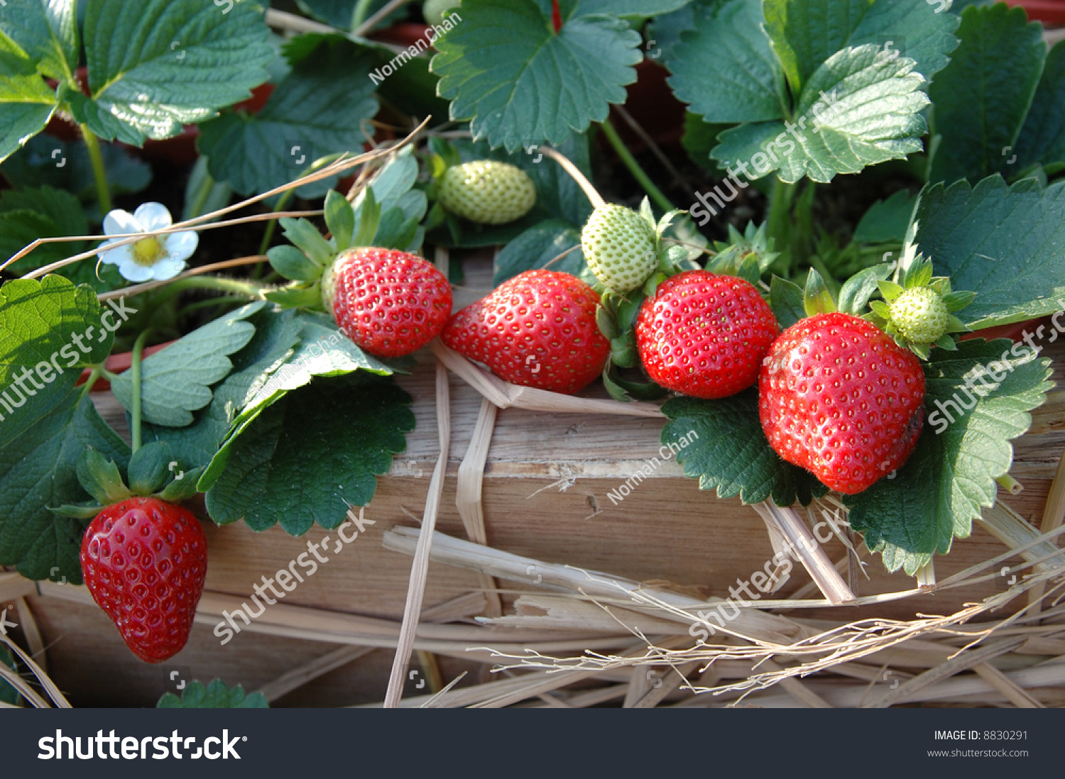 Strawberry Plants Garden Green Leaves Stock Photo 8830291 ...