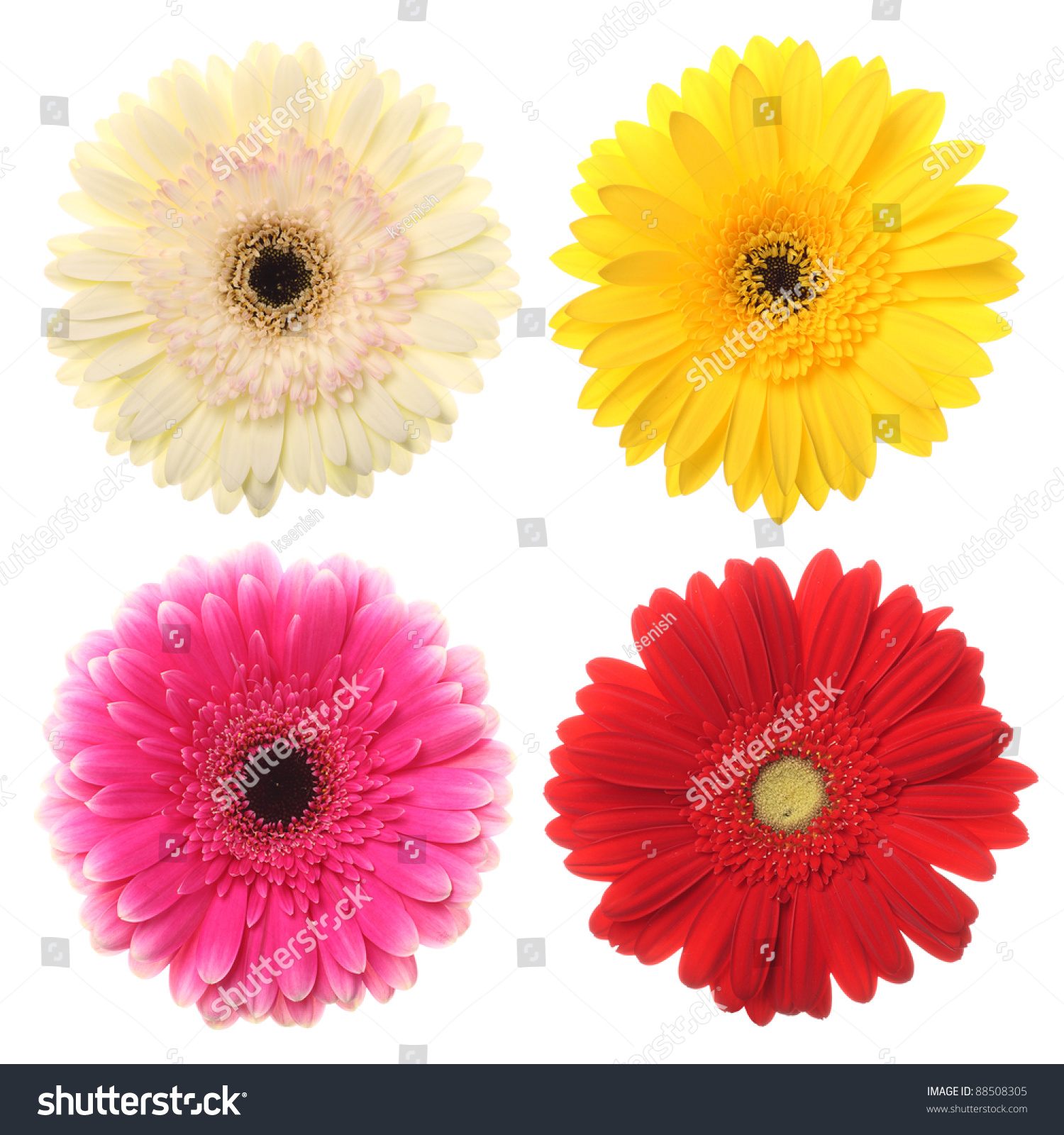 Colorful daisy flowers your designs on stock photo edit now colorful daisy flowers for your designs on white izmirmasajfo