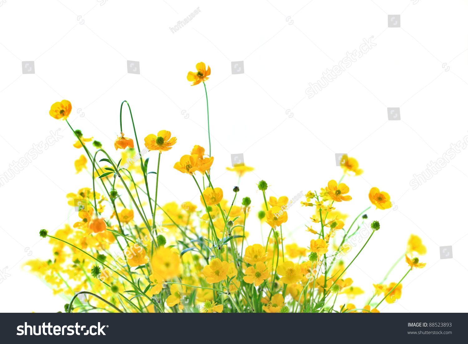 Royalty free little yellow flowers on white 88523893 stock photo little yellow flowers on white background and copy space 88523893 mightylinksfo