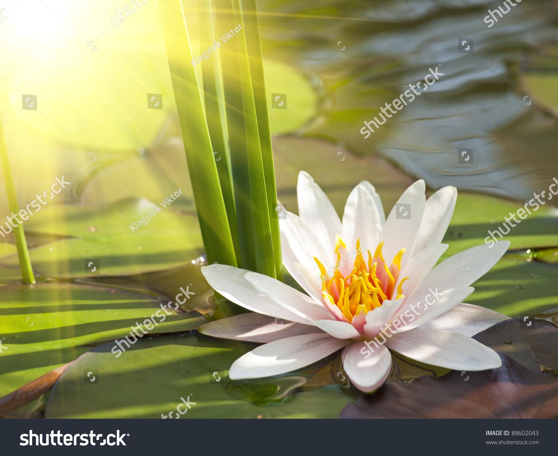 Beautiful Lotus Flower Background Stock Photo Edit Now 88602043