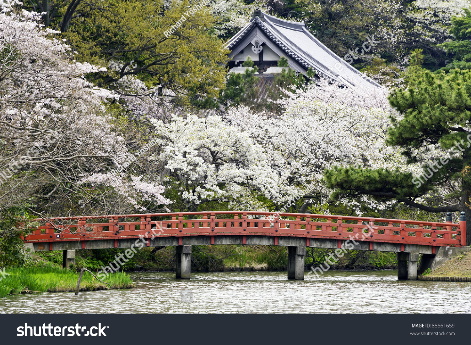 cherry blossoms at japanese garden in yokohama city japan - Japanese Garden Cherry Blossom Bridge